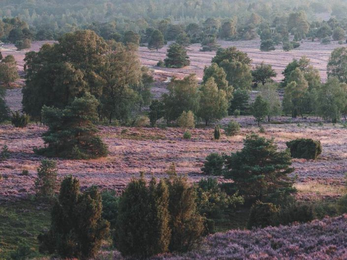 Beautiful purple heather in central Germany.