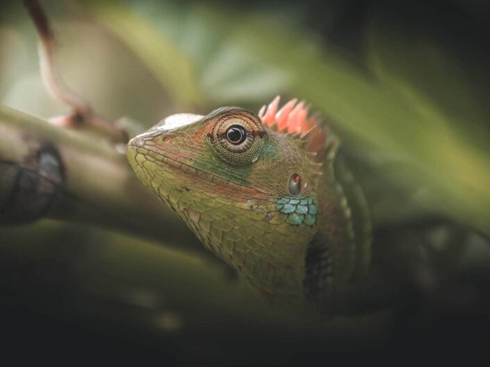 A lizard staring through the leaves of the rainforest of Sri Lanka.