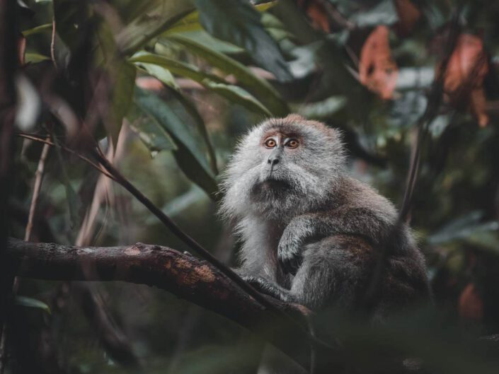 A monkey in the rainforest of Malaysia.