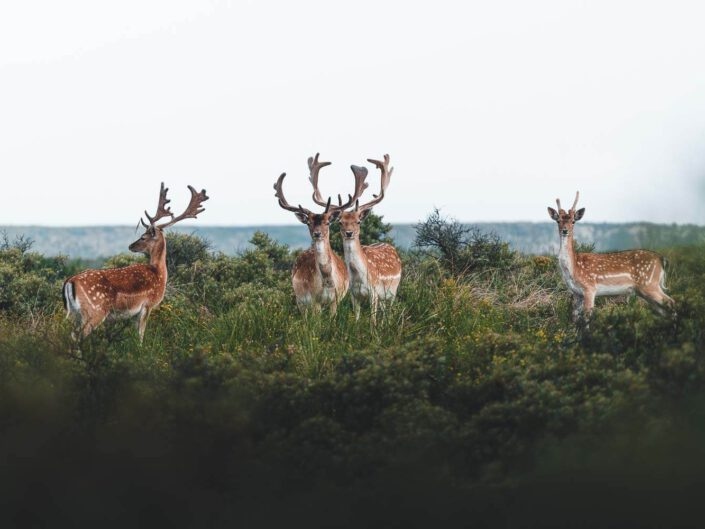 A group of fallow deer in the dunes of the Netherlands.