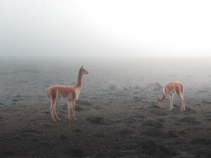 Vicunas standing at the volcano chimborazo in Ecuador.