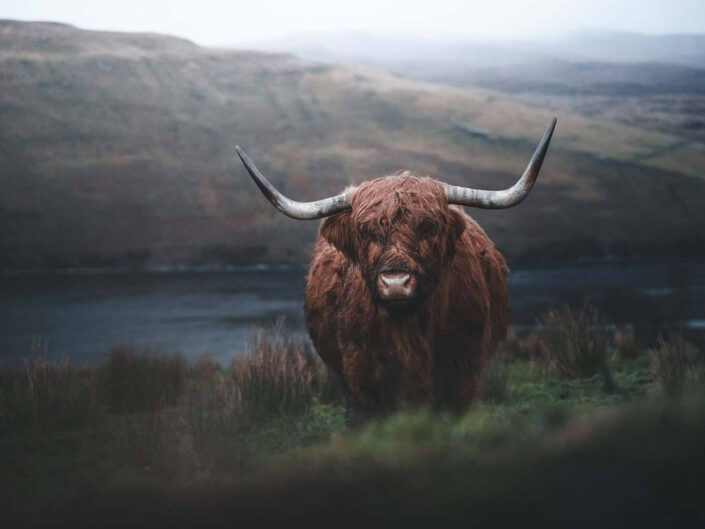 Highland cattle in a moody surrounding, Isle of Skye Scotland.