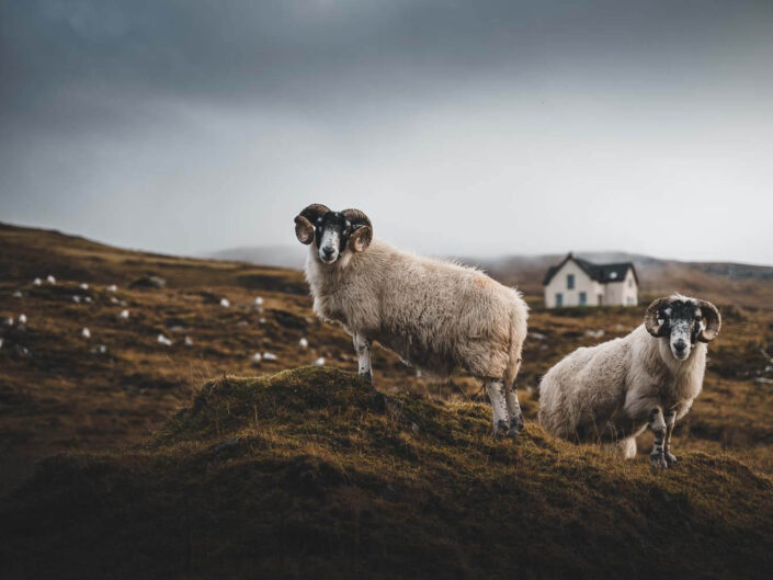 Two sheep and a lonely house on the isle of skye, Scotland.