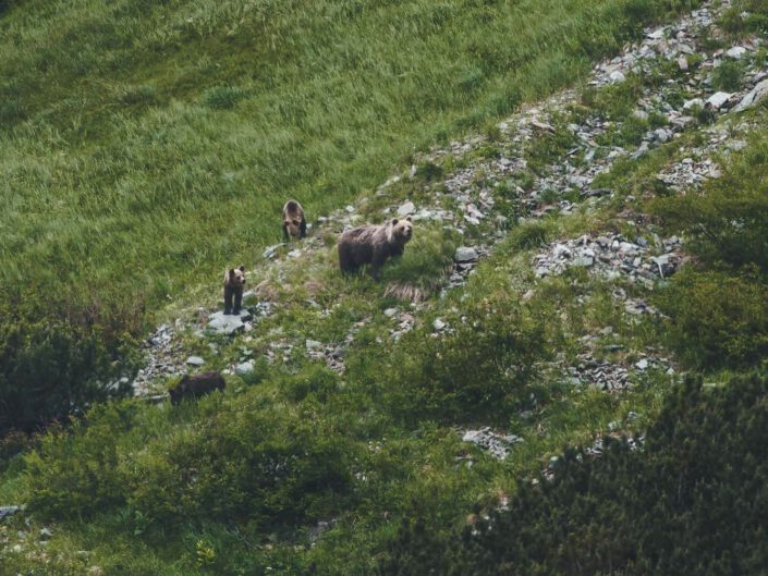 A family of bears in the distance of the tatra mountains.