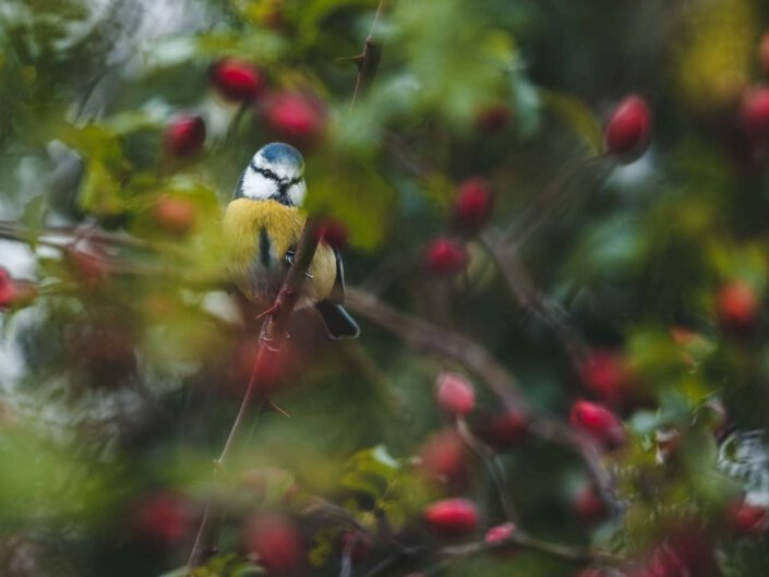 A blue tit peaking through leaves and berries of a bush in Austria.