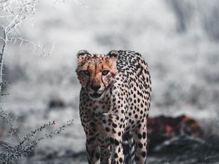 Cheetah in Namibia.