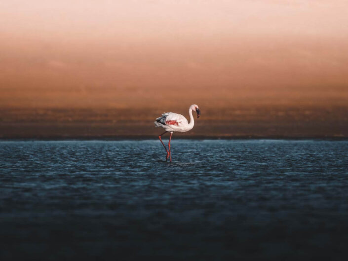 Flamingo in a lagoon with dunes in the back in Namibia.