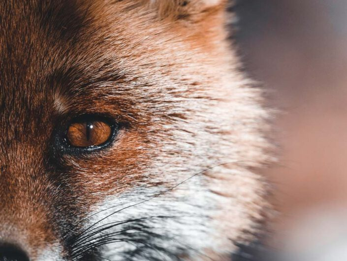A close-up portrait of a red fox in Italy.