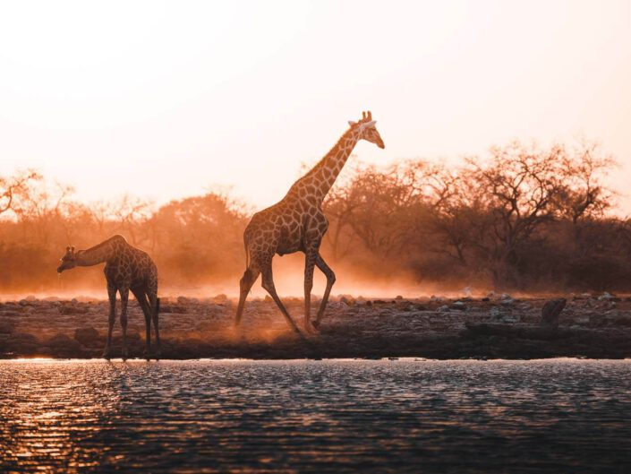Giraffes during sunrise in Namibia.