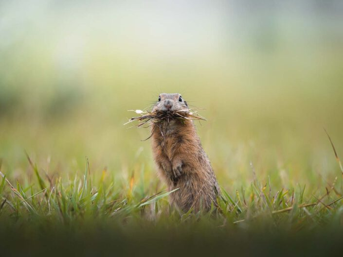 A ground squirrel with grass for the winter months in it's mouth in Austria.