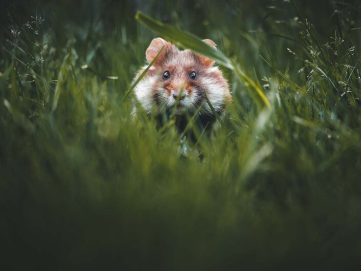 A European hamster peaking into the camera through some tall grass in Austria.