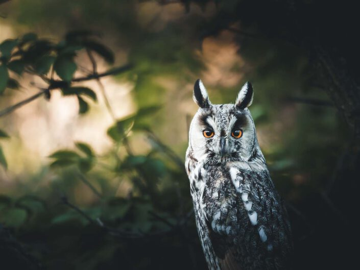 Portrait of a long-eared owl in a green forest of Austria.