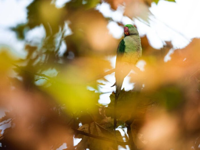 An Alexandrine parakeet in a city of Germany between autumn leaves.