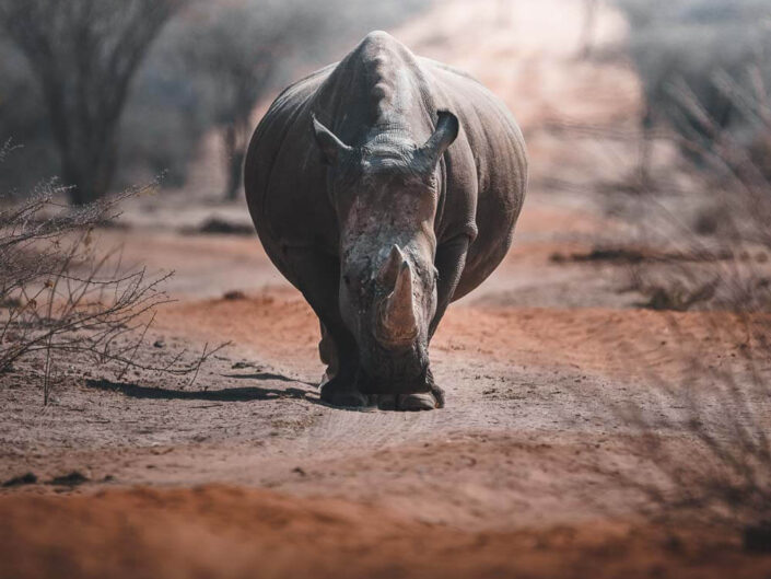 Rhino walking up to us, Namibia.