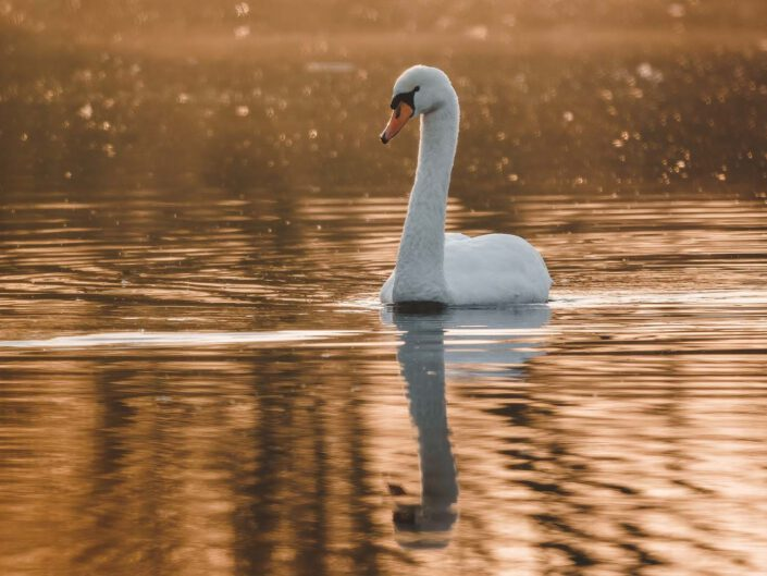 A white swan during sunrise.