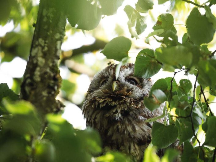 A tawny owl sitting in a tree and peaking through the branches.