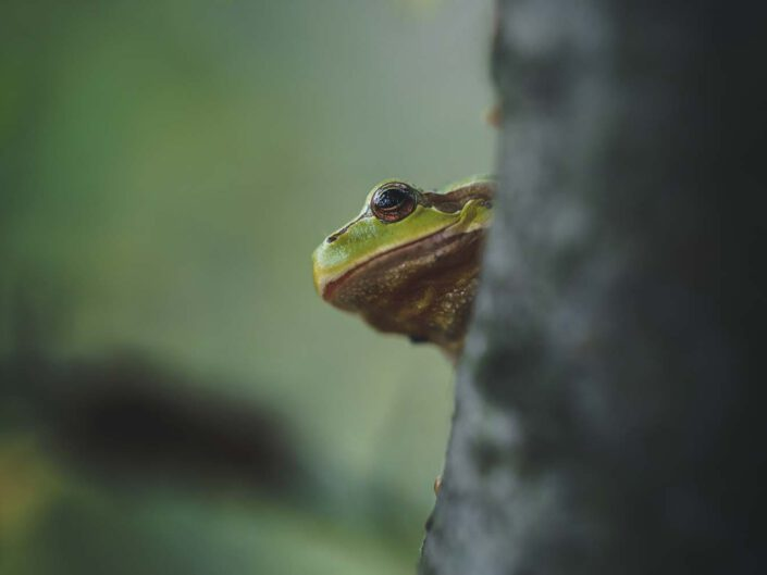 A tree frog peaking from a tree in Austria.