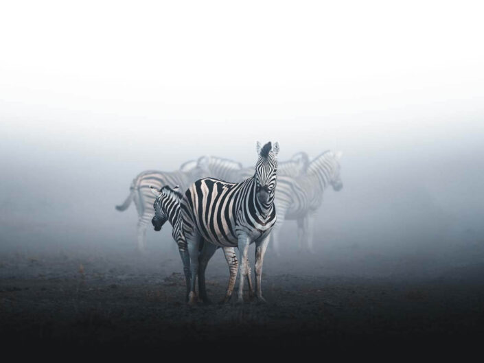 Zebras in the dust in Namibia.