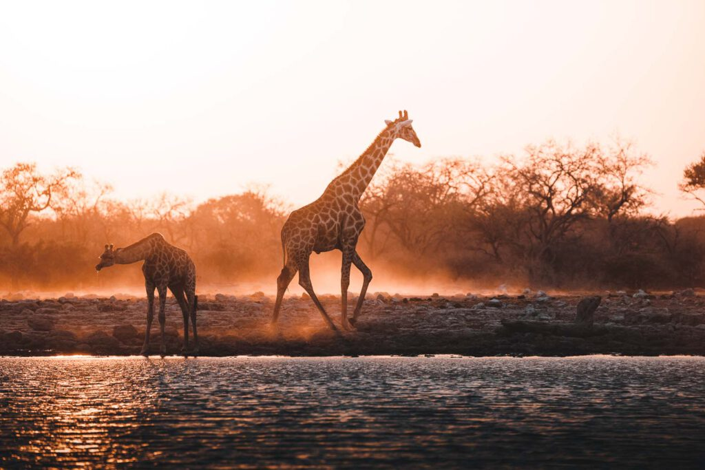The image shows two giraffes on a waterhole during sunrise in Etosha National Park, Namibia. It was taken using a rented lens.