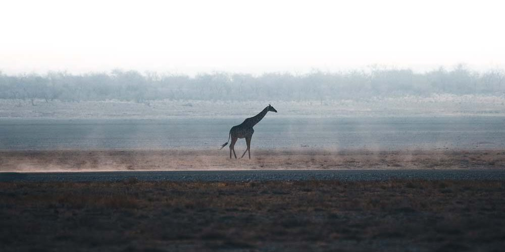 A lonely giraffe in the Etosha desert of Namibia.