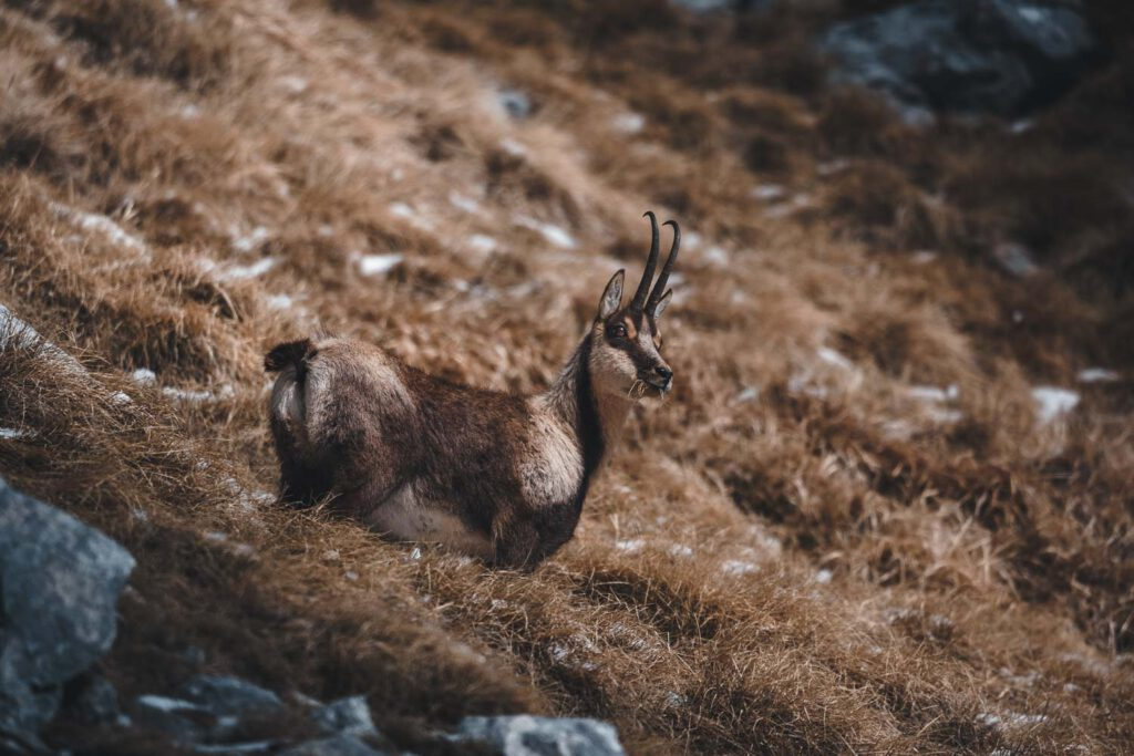 A Abruzzo chamois in the Abruzzo mountains of Italy.
