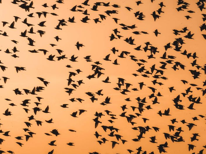 A swarm of starlings flying during migration, Austria.