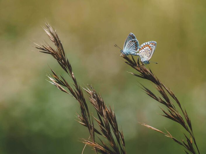 Butterflies mating in a green surrounding.