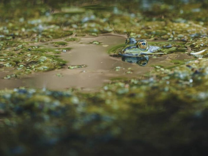 A frog hiding in an all green pond in Germany.