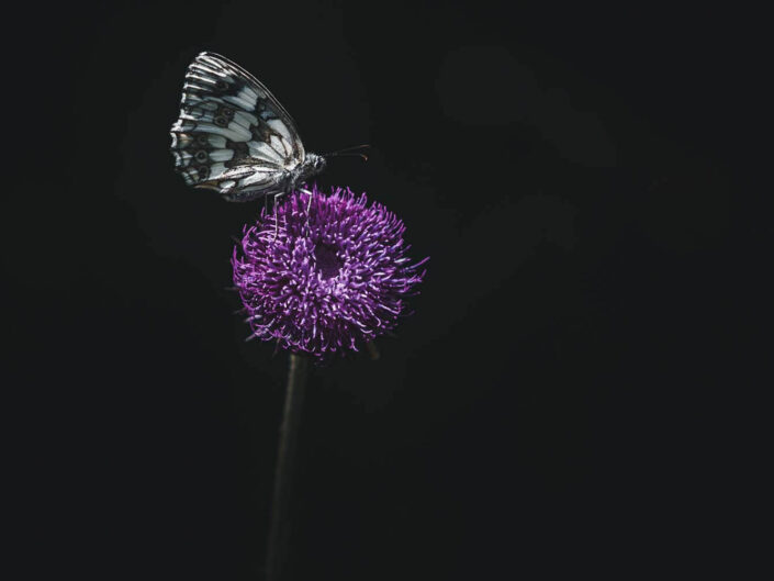Marbled white butterfly low key picture.