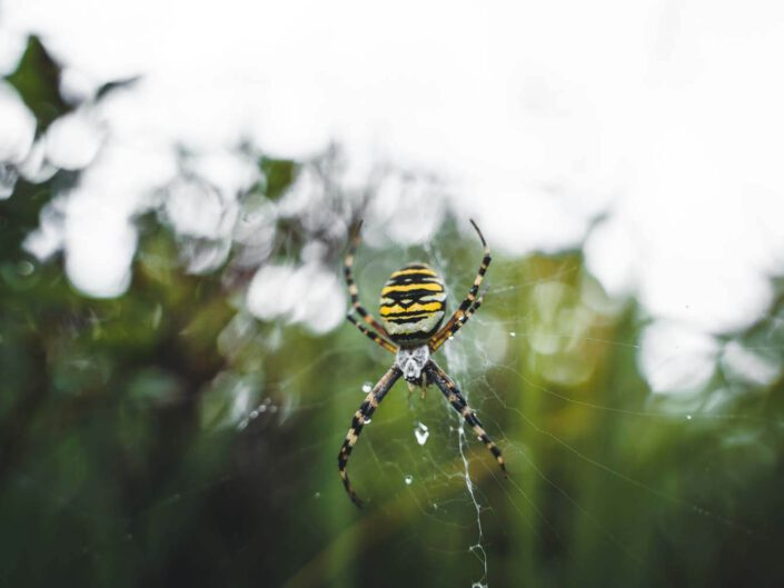 A wasp spider portrait in the black forest, Germany.